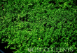 Sedum Green Carpet | Orange County Nursery for Succulents | Pla